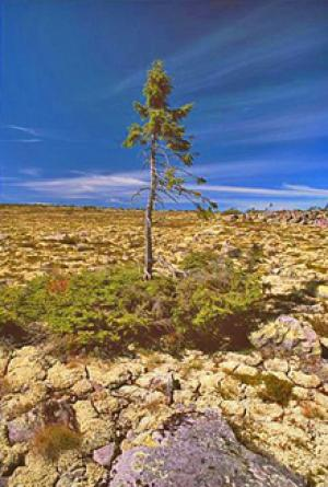 World's Oldest Tree (photo by Leif Kullman)